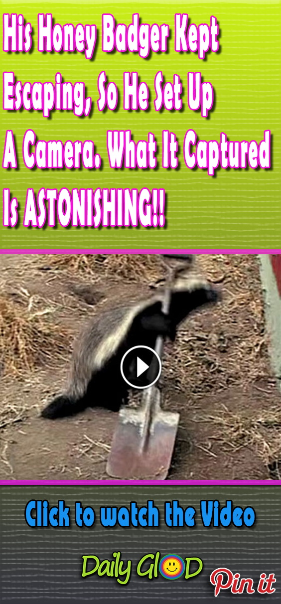 I never thought I'd say this, but this honey badger is smarter than me. This guy is El Chapo of the animal world. #honeybadger #smartanimals #animals #hiddencamera #hiddencam #cruel #viral