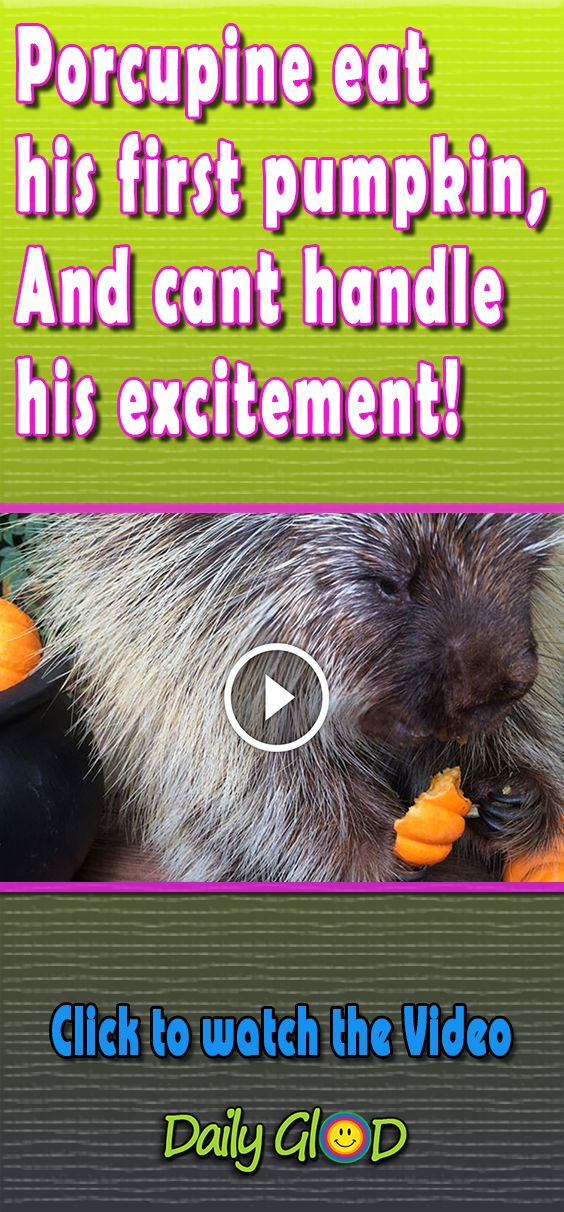 I never knew porcupines could make these noises..Wow! #viral #video #adorablevideo #cutest #cuteanimals #porcupine #pumpkin #porcupinedanger #excitement #firsttime #viralvideo #amazinganimal #animallove #animal #unexpected