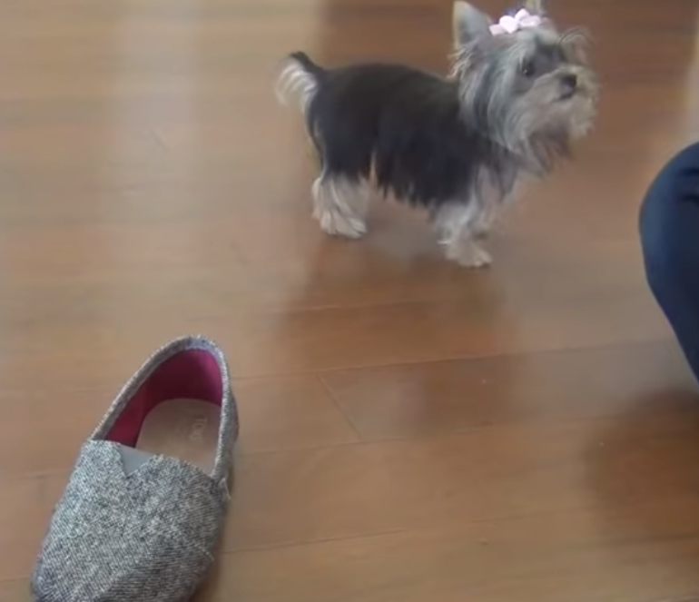 puppy,video,viral,misa,cute,talent,trick,Yorkshire Terrier,wonderful,must watch,intelligent,amazing