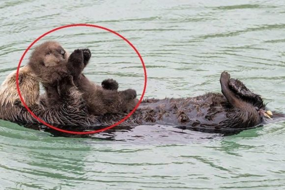 sea otter, otters, Monterey Bay Aquarium, baby sea otter, newborn, baby otter, momma otter, sleeping otter,viral,video,mother love,animals parenting,best animals video,cutest animals,most viewed,animals babies,cutest babies